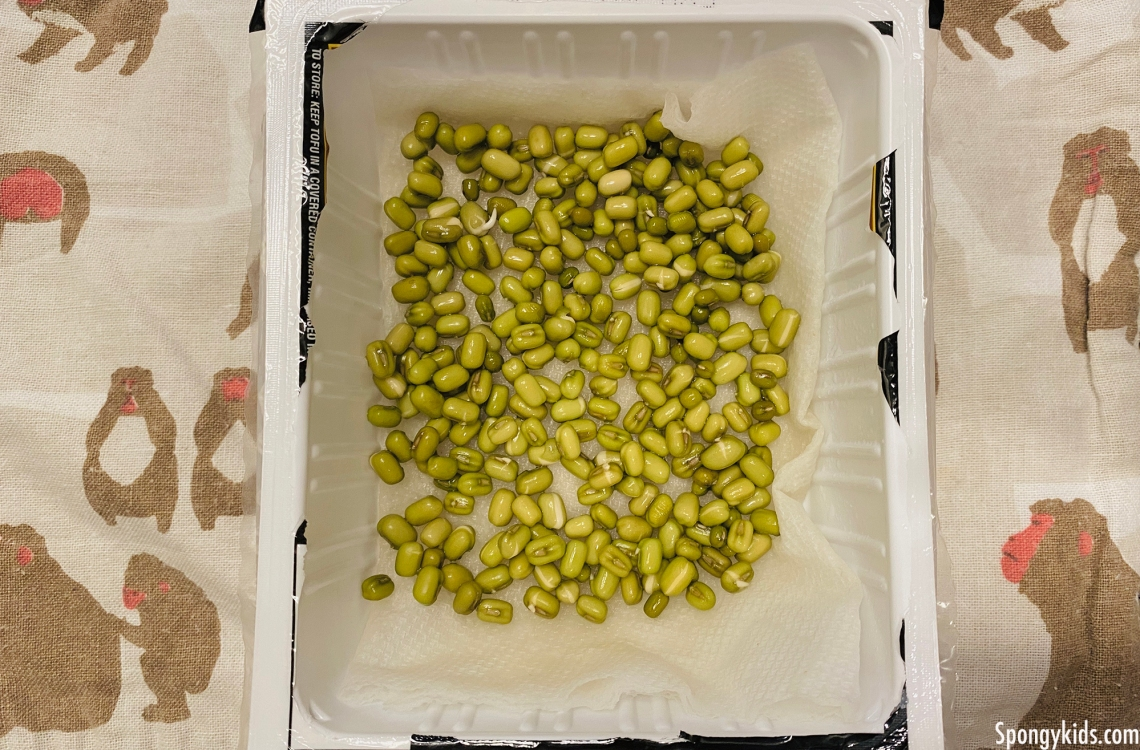 How to grow your mung beans easy: Indoor Gardening Mung Bean Sprouts
