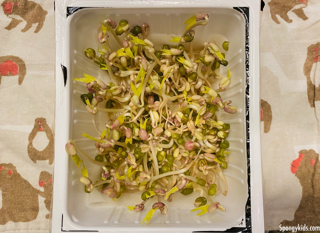 How to grow your mung beans easy: 5 days later