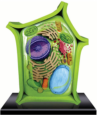 Cell Anatomy Model Plant cell