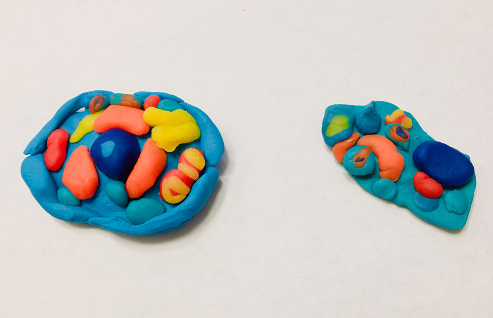 Play doh Animal and Plant Cells Kids made