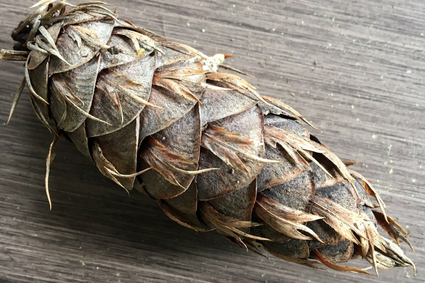 The pinecone we picked _learning what is conifer trees